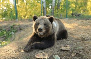 В Кузбассе заметили бегающего по улицам медведя